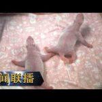 《新闻联播》习近平同比利时国王菲利普就旅比大熊猫诞下幼崽互致贺电 20191003 | CCTV / CCTV中国中央电视台